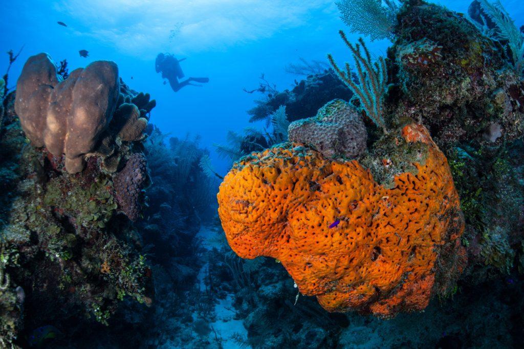 diver and elephant-ear-sponge
